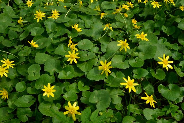 Spring lesser celandine green, Nikon D800, AF-S Micro Nikkor 60mm f/2.8G ED