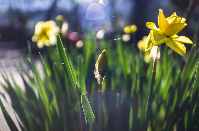 daffodils and flares