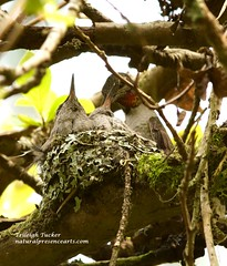 Mother Anna's Hummingbird feeding two babies