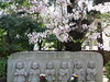 Photo:#1927 Jizō (地蔵) statues and cherry blossoms (サクラ) By Nemo's great uncle