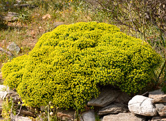 yellow_shrub