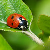 COCCINELLES01 by daumy