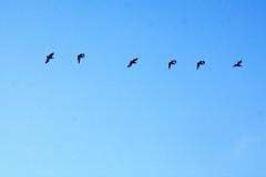 Caravana de aves