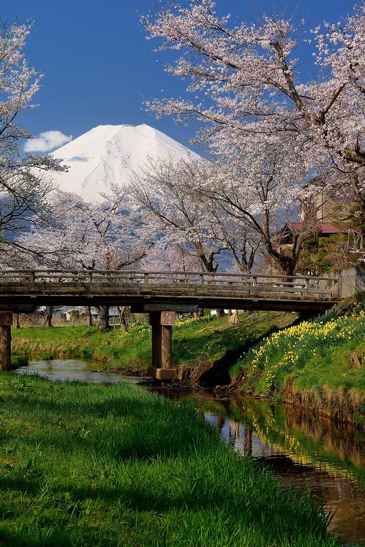 新名庄川の桜2014