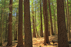 Pine Trail (2)