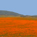 "California Poppies (Eschscholzia californica) by Gregory ""Slobirdr"" Smith"