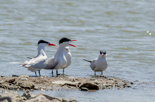 Is Something The Matter? - Royal Terns