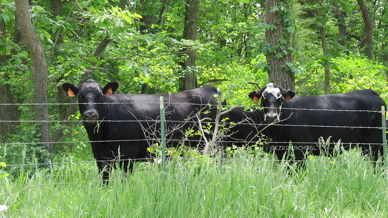 IMG_8088Cows