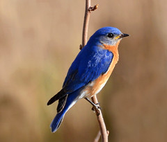 nightingale(0.0), robin(0.0), roller(0.0), animal(1.0), wing(1.0), fauna(1.0), finch(1.0), indigo bunting(1.0), bluebird(1.0), blue(1.0), beak(1.0), bird(1.0), wildlife(1.0),