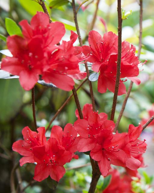 red rhododendron. Botanical garden. Lviv, Ukraine