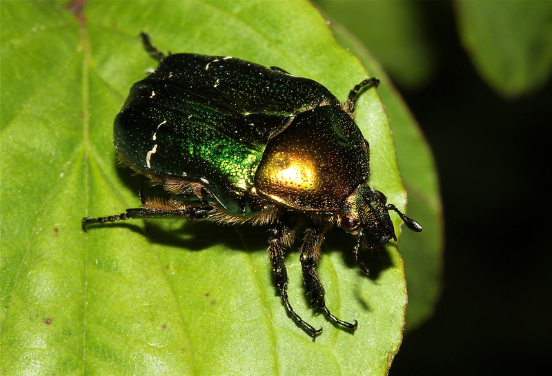 Cetonia aurata (Rose Chafer)