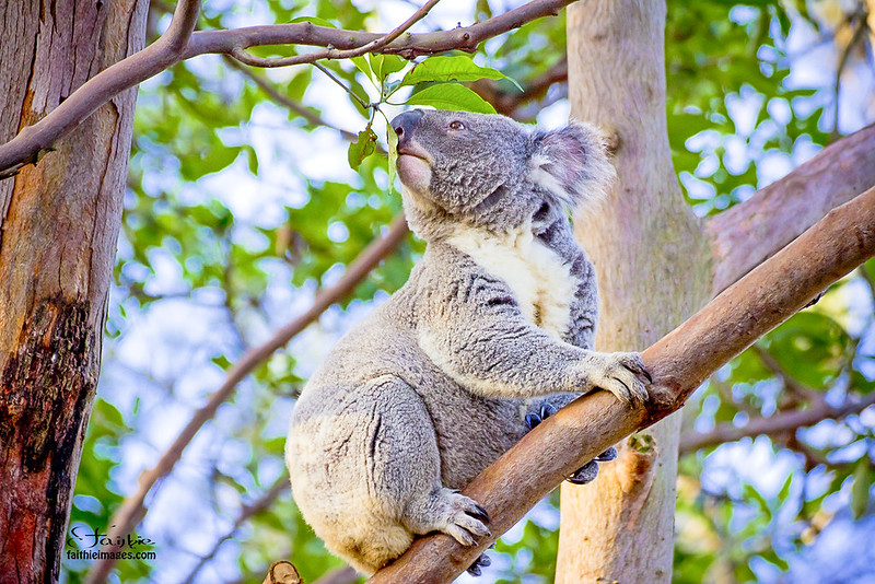 Koala bear checking on leaves from a eucalyptus tree