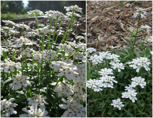 candytuft comparison: 2013 vs. 2014