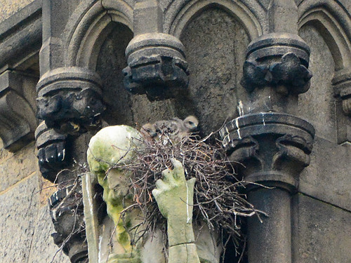 Cathedral Hawk Nestlings (9569)