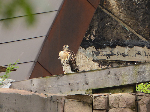Cathedral Hawk Fledgling #1 (2203)