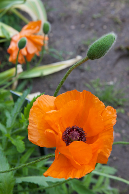 orange poppy. Botanic garden. Lviv, Ukraine