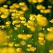Buttercups by johnlgardiner
