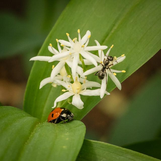 ladybug & ant on flower