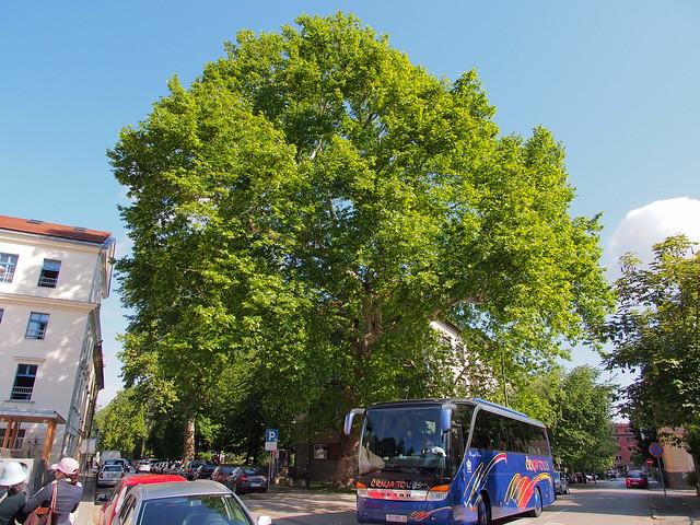路旁的大樹