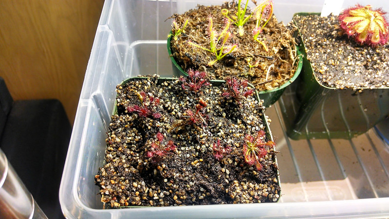 Small Drosera intermedia 'Cuba' plantlets after repotting.