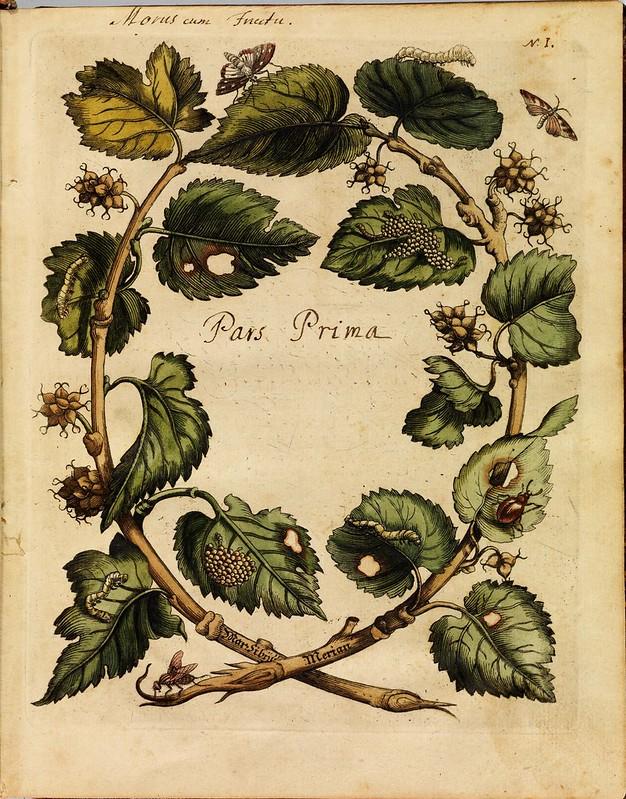 Erucarum ortus - Maria Sibylla Merian