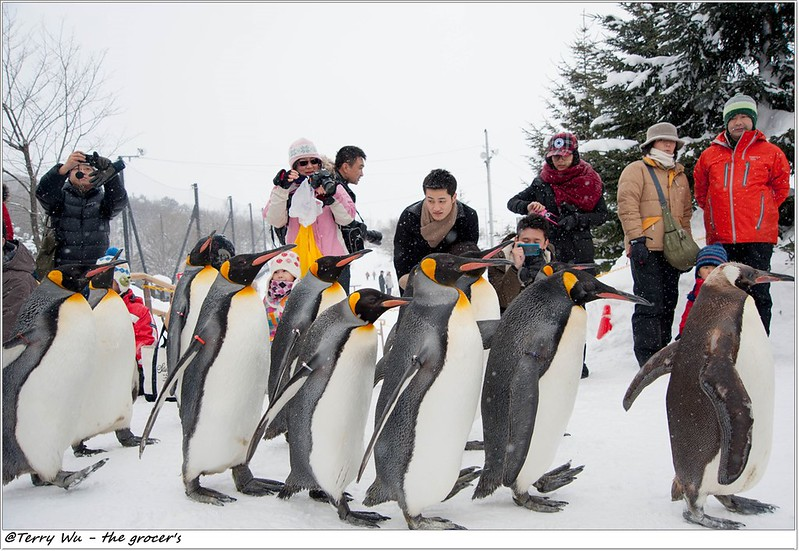 Day5 - 旭山動物園 - 企鵝散步-67