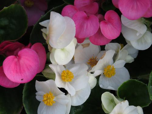 41 Baby Begonia blooms