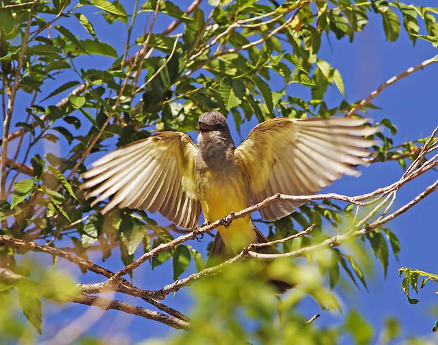 Western King Bird 2_1149