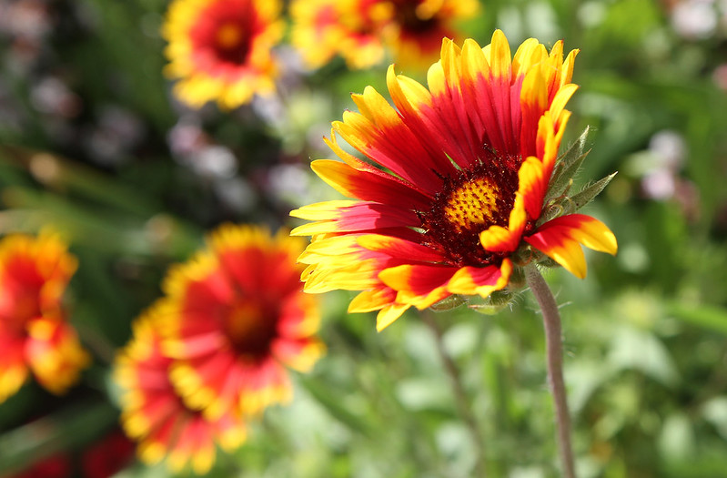Arizona Sun blanket flower - Gaillardia