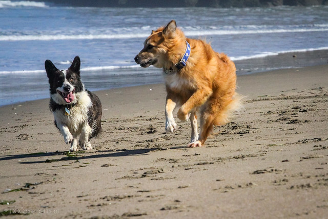 Tig an English Shepherd and a Corgi at the beach