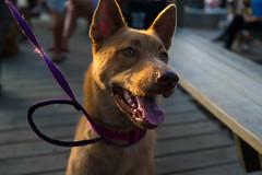 dobermann(0.0), street dog(0.0), animal shelter(0.0), dog breed(1.0), animal(1.0), dog(1.0), pet(1.0), mammal(1.0), police dog(1.0), formosan mountain dog(1.0),
