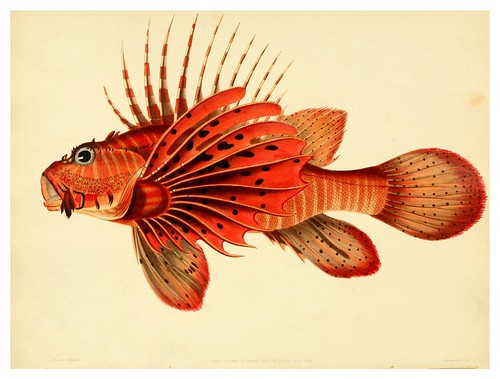 006-Scorpaena Miller-A selection … the fishes …of Ceylon-1834 John B. Whitchurch