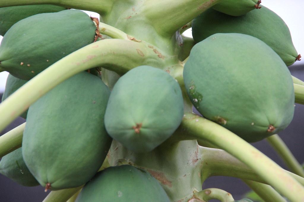 Paw paw fruits, Napak District, Uganda