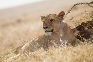 Löwin im natürlichen Lebensraum