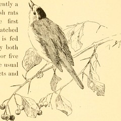 """Image from page 604 of """"Birds of California; an introduction to more than three hundred common birds of the state and adjacent islands, with a supplementary list of rare migrants, accidental visitants, and hypothetical subspecies"""" (1904)"""