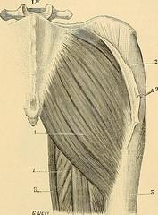 """Image from page 854 of """"Traité d'anatomie humaine : anatomie descriptive, histologie, développement"""" (1895)"""