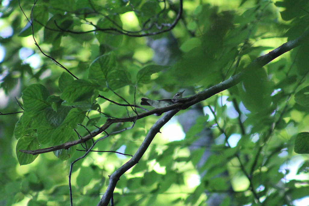 Swainson's Warbler (2)