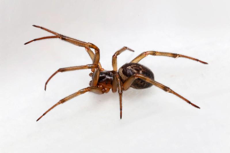 False Widow Spider.