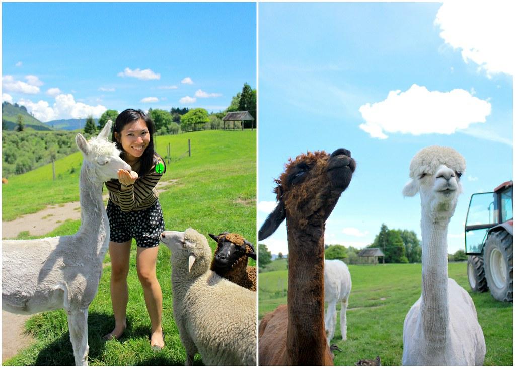 agrodome-farm-alpacas-sheep-feeding