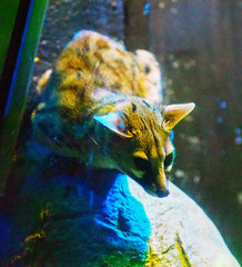 Memphis Zoo 08-31-2016 - Spotted Genet 1