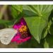 Ascia monuste - Great Southern White por J. Amorin