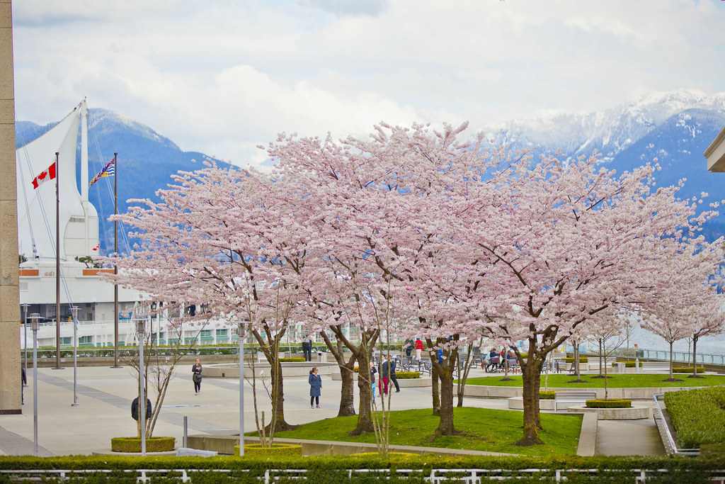 Cherry Blossoms @ Waterfront Station