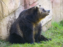 Memphis Zoo 08-31-2016 - Grizzly Bear 2