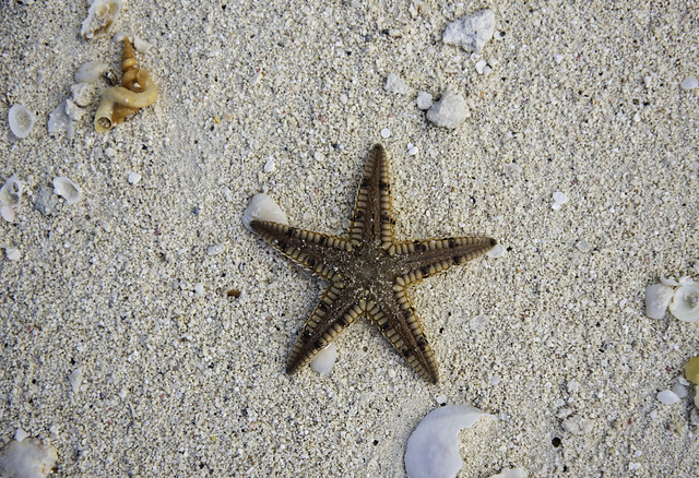 Treasure Cay Sea Star