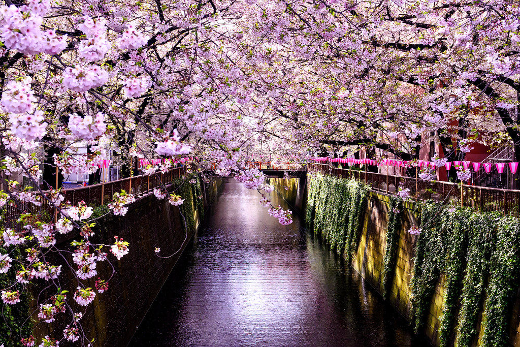 Cherry Blossoms in The Meguro River : 目黒川の桜
