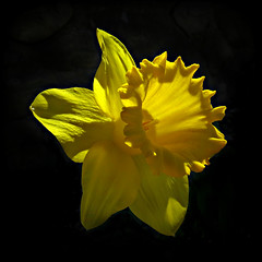 Daffodil:  A Symbol of Rebirth