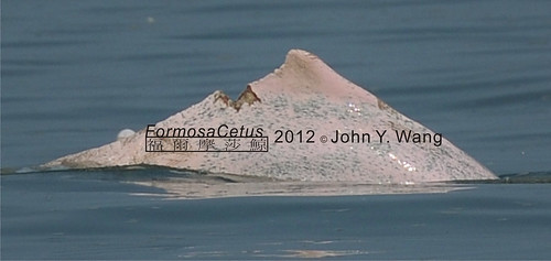 30%白海豚(約23-24隻)身上傷痕累累,陳昭倫說,這種痛苦就是受傷的傷口泡在海水。(攝影:王愈超)
