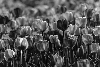 Mono Tulip Patch