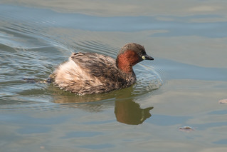 Little Grebe-6731