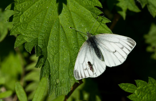 SMALL WHITE BUTTERFLY & FRIEND